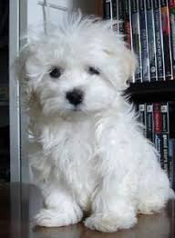 Cute Non Shedding Dog Breeds by I Am The Cutest Puppy Ever Animals Pinterest Maltese Dog