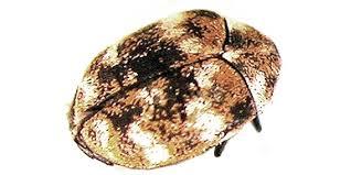 Do Carpet Beetle Bite by Carpet Beetle Control Bug Zapper Pest Control