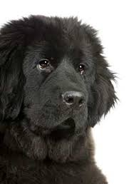 how to care for the newfoundland breed