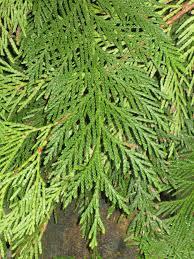 Fraser Fir Christmas Trees Kent by Blog Huntersgardencentre Com