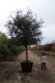 Shady Tree Farms Nursery Specimen Growing Room Live Oak