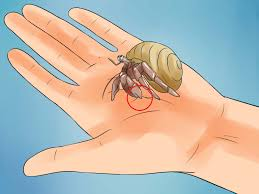 Do Hermit Crabs Shed Legs by The Best Ways To Care For Hermit Crabs Wikihow