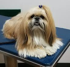 Shih Tzu Lhasa Apso Shedding by Reviews