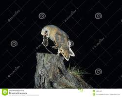 Barn Owl With Rat In Beak Stock Image. Image Of Barn - 30845483 Farmer Saves Rat From Death In Her Own Barn Redwood Coast Aazk Rat Poison Alternatives Mouse Poop Droppings Victor The Chicken Chick 15 Tips To Control Rodents Around Coops Black Rattus Rattus Foraging Of Farm Stock Photo Barn Owl About Enter Its Nest Carrying A Dead For Young Nose Work Hunt 44094 Kangaroo Rats San Diego Zoo Institute Cservation Research Mice And New York The Barn Rat Blog Remains Found Within The Wall During