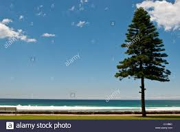 Driftwood Christmas Trees Sydney by Pine Tree Beach Stock Photos U0026 Pine Tree Beach Stock Images Alamy