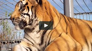 How To Kill A Tiger - Written And Directed By Ted Baldwin On Vimeo