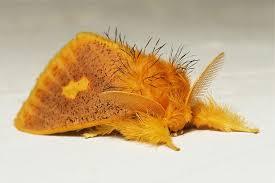 tussock moth euproctis plagiata motte motten in der