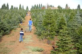 Balsam Christmas Tree Care by Christmas Tree Care Fire Prevention And Safety Asj