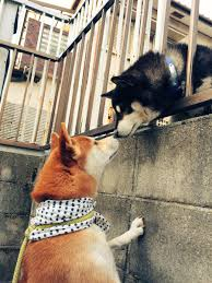 Do Shiba Dogs Shed by Shiba Inu Parkours To Taunt Other Dog Animalsbeingjerks