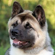 Do Akitas Shed Bad by American Akita Breed Guide Learn About The American Akita