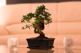 bonsai im wohnzimmer foto bild natur tabletop natur