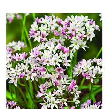 bulbs allium cameleon bulbs for sale mail order