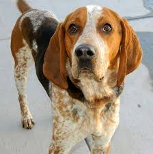 Do Bluetick Coonhounds Shed by American English Coonhound Dog Breed Information Pictures