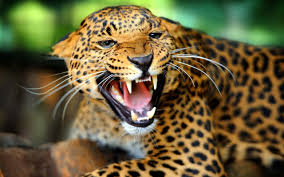 Jaguar Facts History Useful Information and Amazing