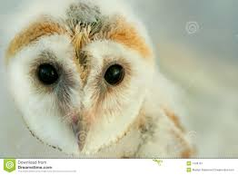 Baby Barn Owl Stock Image. Image Of Endangered, Born, Small - 1436781 Barn Owl Focus On Cservation Best 25 Baby Ideas On Pinterest Beautiful Owls Barn Steal The Show As Day Turns To Night At Heartwood Family Ties Owl Chicks Let Their Hungry Siblings Eat First The Perch Uncommon Banchi Baby Coastal Home Giftware From Horizon Stock Image Image Of Small Young Looking 3249391 You Know Birdnote Banding By Alex Lamoreaux Nemesis Bird