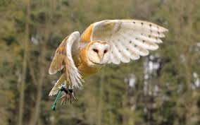 Photo Collection Barn Owl Wallpaper Hd Barn Owl Facts About Owls The Rspb Bto Bird Ring Demog Blog October 2014 Chouette Effraie Lechuza Bonita Sbastien Peguillou Owl Free Image Peakpx Wikipedia Barn One Wallpaper Online Galapagos Quasarex Expeditions Hungry Project Home Facebook Free Images Nature White Night Animal Wildlife Wild Hearing Phomenal Of Nocturnal Wildlife Animal Images Imaiges
