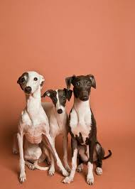 Do Italian Greyhounds Shed A Lot by 50 Best Italian Greyhound Dog Art Portraits Photographs