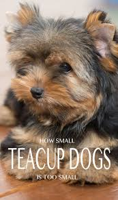 Do Morkies Shed A Lot by Teacup Yorkie A Guide To The World U0027s Smallest Dog
