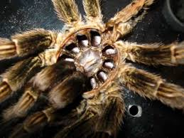 sexing a tarantula from molted skins tarantula spider