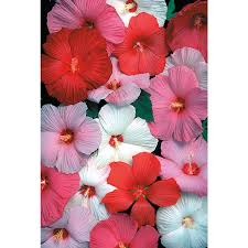 shop 1 5 gallon hardy hibiscus l2556 at lowes