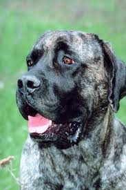 My Dog Stinks And Sheds A Lot by Shedding In A Bullmastiff Pets