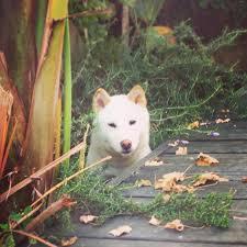 Do Shiba Dogs Shed by Kenzo The Shiba A Los Angeles Shiba Inu And His Spoiled Life