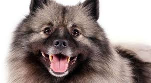 Low Shed Family Dog Breeds by Fluffy Dog Breeds American Kennel Club