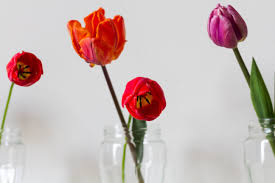 tulips from the garden circle of pine trees
