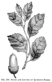 acorn and leaves illustration vintage botanical clipart black and white clip art free