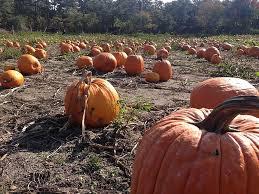 Pumpkin Picking Nj by Top Fall Festivities In New Jersey Twodopesfromjersey