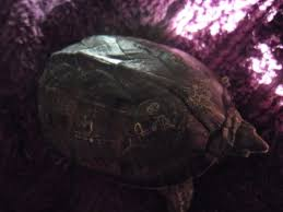 turtle shell rot or sheading reptile forums