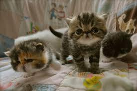 shorthair cat price home