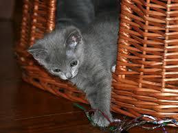 russian cat names amazing russian blue cat names russian blue 2015