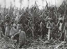 Slaves Cutting Down Sugar Cane On A Cuban Plantation