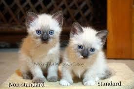 munchkins cats munchkin cats home