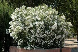 laurier blanc fleurs doubles pot de 3 litres