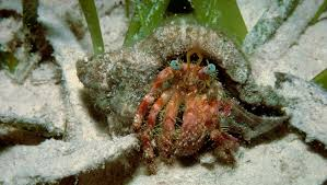 Halloween Hermit Crab Reef Safe by 100 Halloween Hermit Crab Blue Legged Hermit Crab On Devil