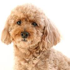 Best Mini Dogs That Dont Shed by K9 1 On 1 Best Small Dogs For Families