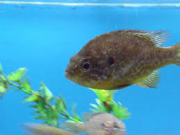 Pumpkin Seed Sunfish Pictures by File Pumpkinseed Sunfish Jpg Wikimedia Commons