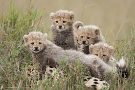 See Disneynatures African Cats And Help Save The Savanna
