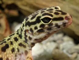 Do Leopard Geckos Shed by Uncategorized Archives Leopard Gecko Talk