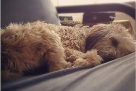Do Wheaten Terriers Shed by Soft Coated Wheaten Terrier Dog Breed Information And Pictures