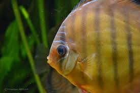palais de la porte dorée et l aquarium tropical les discus une