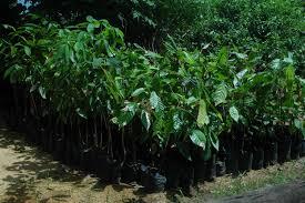 Christmas Tree Seedlings by Varashree Farm U0026 Nursery Macadamia Plant
