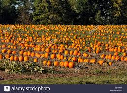 Vancouver Pumpkin Patch Wa by Pumpkin Patch With Ripe Pumpkins Ready For Harvest Near Ashland