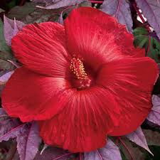 hibiscus sold at michigan bulb