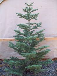 Best Type Of Christmas Tree by What Type Of Tree Is The Christmas Tree Rainforest Islands Ferry