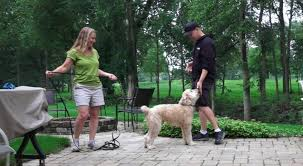 Do Irish Wheaten Terriers Shed by Dog Training 3 Day Private Seminar 4 Year Old Wheaten Terrier