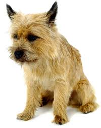 cairn terrier shed hair cairn terrier breed facts and links and pictures oh my