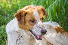 Excessive Hair Shedding In Dogs by Hormone Deficiency In Dogs Symptoms Causes Diagnosis